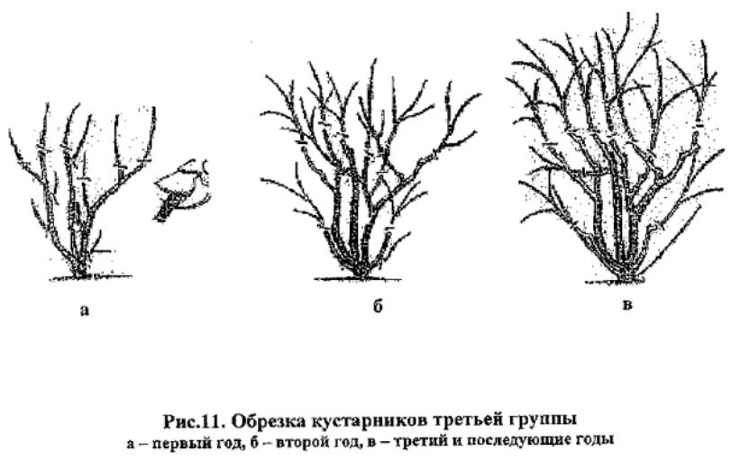 obrezka_kustarnikov_tretiei_gruppi