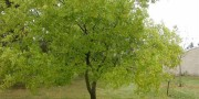 Вяз мелколистный(карагач)