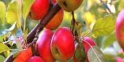 Яблоня кустарниковая
